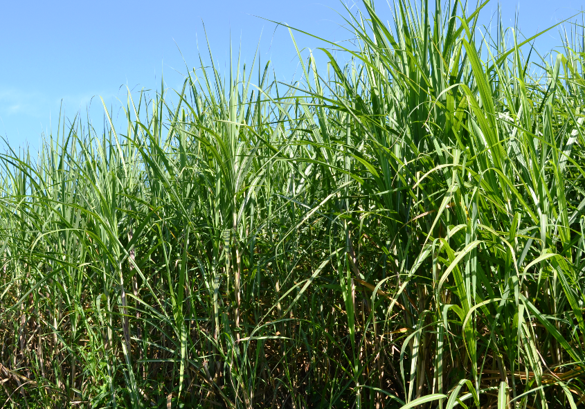 Our-Sugar-Cane-Farm-lightbox